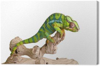 Obraz na Płótnie Kolorowe kameleon (5)