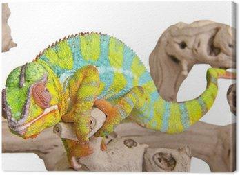 Obraz na Płótnie Kolorowe kameleon