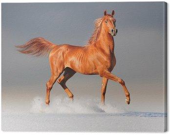 Obraz na Płótnie Koni arabskich w zimie