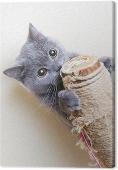 Obraz na Płótnie Kot brytyjski zarysowania postów
