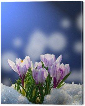 Obraz na Płótnie Krokusy w śniegu