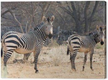 Obraz na Płótnie Krowa i Kitten - Hartmann Mountain Zebra