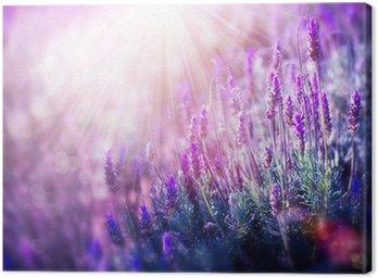 Obraz na Płótnie Kwiaty lawendy pola. rośnie i kwitnący lawenda