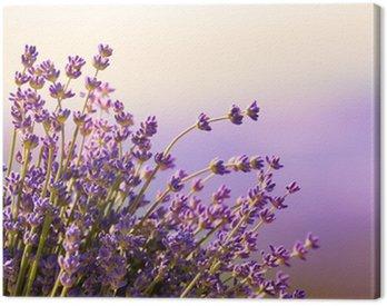 Obraz na Płótnie Kwitną kwiaty lawendy czas letni