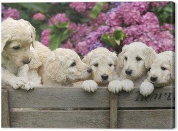 Labradoodle Pupies
