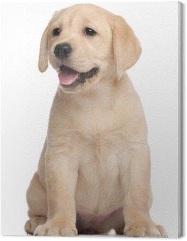 Labrador puppy, 7 tygodni, z przodu białe tło