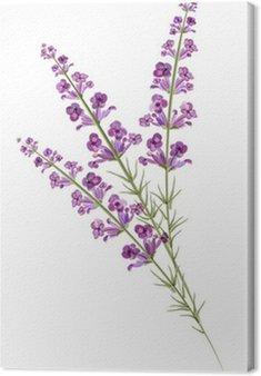 Obraz na Płótnie Lavender. Rysunek akwarela. Wektor
