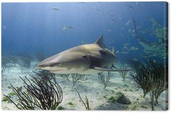 Obraz na Płótnie Lemon shark w słońcu promieni