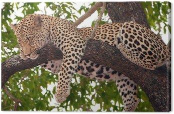 Obraz na Płótnie Leopard spania na drzewie