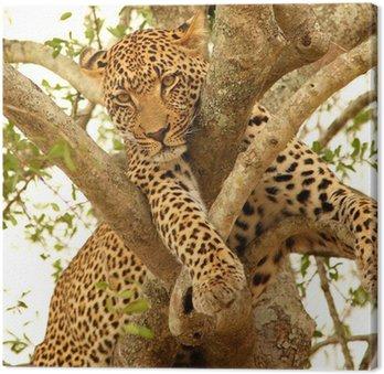 Obraz na Płótnie Leopard w drzewo w Sabi Sands Reserve