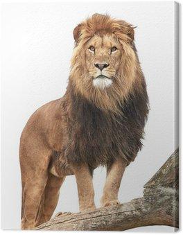 Obraz na Płótnie Lew (Panthera leo)