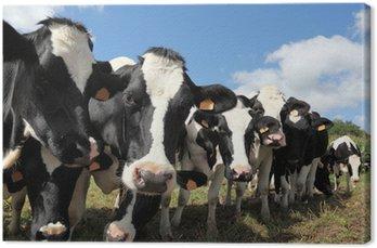 Obraz na Płótnie Linia czarne i białe krów Holstein mleczne