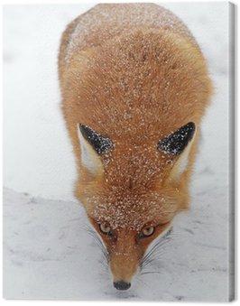 Obraz na Płótnie Lis w lesie w Tatrach Wysokich na Słowacji