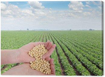 Obraz na Płótnie Ludzka ręka trzyma soi, z pola soi w plecy