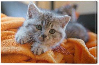 Obraz na Płótnie Mały szary kot leżący na pomarańczowym kocem na kanapie