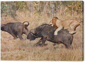 Mężczyzna atak lwa ogromny byk buffalo