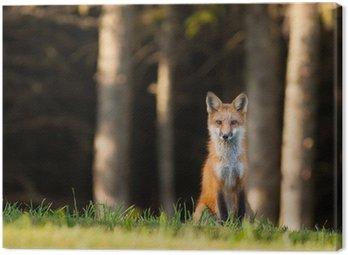 Obraz na Płótnie Młody Lis (Vulpes vulpes) na oku kamery