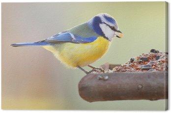 Obraz na Płótnie Modraszka (Cyanistes żółty) na ptaka tabeli.
