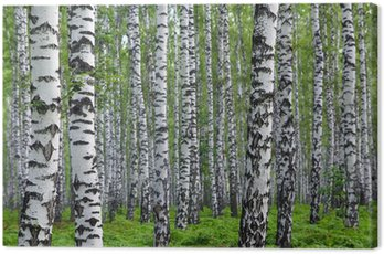 Obraz na Płótnie Nice summer brzozowy las