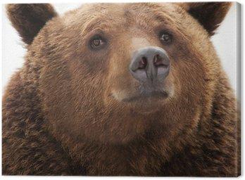 Obraz na Płótnie Niedźwiedź brunatny
