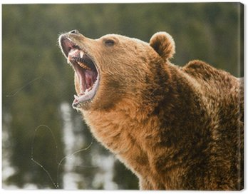 Obraz na Płótnie Niedźwiedź grizzly