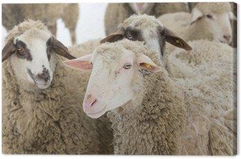 Obraz na Płótnie Owca