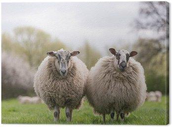 Obraz na Płótnie Owce na łące stoi