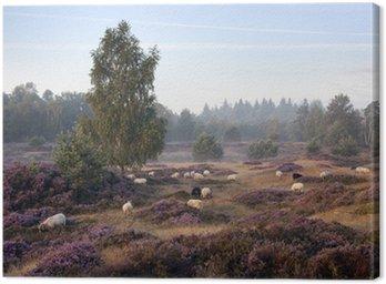 Obraz na Płótnie Owce na purpurowy kwitnienia wrzosu