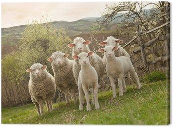 Obraz na Płótnie Owiec i jagniąt na pastwisku