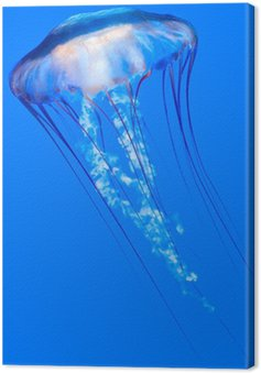 Obraz na Płótnie Pacific morze pokrzywy (Chrysaora fuscescens)
