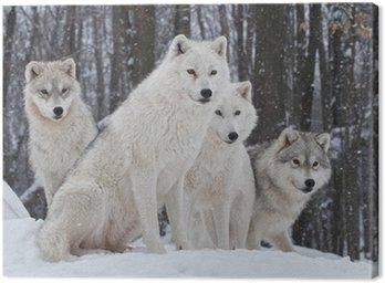 Obraz na Płótnie Pakiet wilk arktyczny