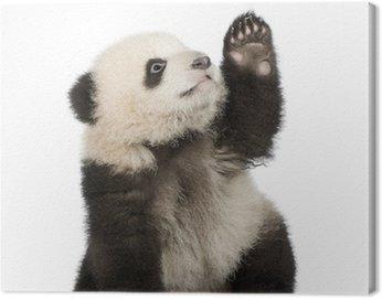 Obraz na Płótnie Panda (6 miesięcy) - ailuropoda melanoleuca