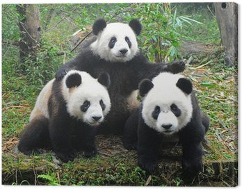 Obraz na Płótnie Panda bear pozuje do kamery