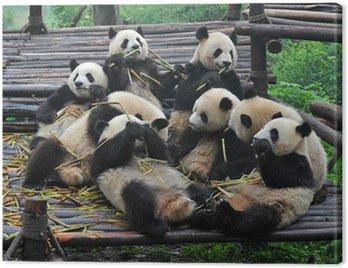 Obraz na Płótnie Panda niedźwiedzie zbierają bambusa posiłku