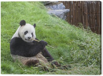 Obraz na Płótnie Panda siedzi na ziemi i zjada bambus