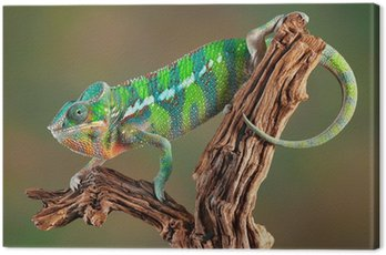 Obraz na Płótnie Panther Chameleon