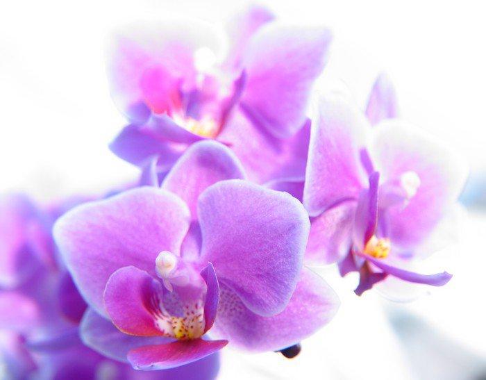 Obraz na Płótnie Phalaenopsis - Tematy