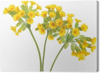 Obraz na Płótnie Pierwiosnek Kwiaty