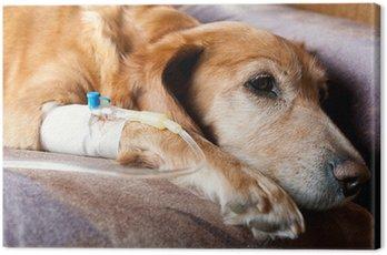 Obraz na Płótnie Pies leżał na łóżku z kaniuli w żyle przy wlewie