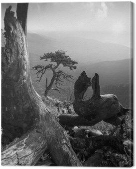 Obraz na Płótnie Pinetree na monuntain wzgórzu. Czarny i biały