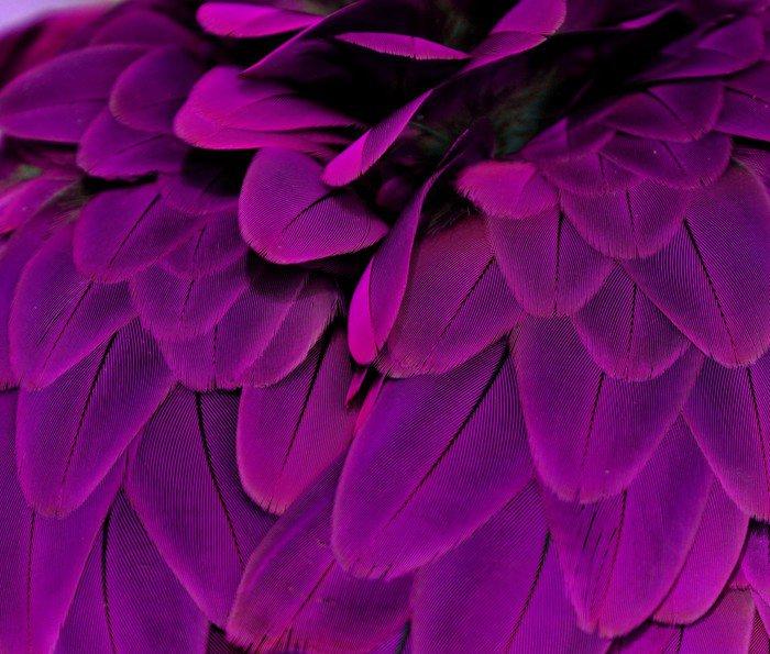 Obraz na Płótnie Pióra; fioletowy - Przeznaczenia