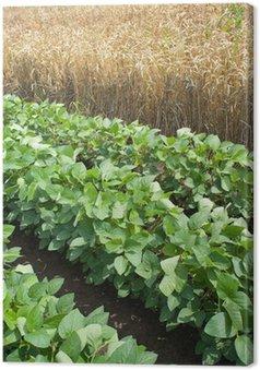 Obraz na Płótnie Pola pszenicy i soi