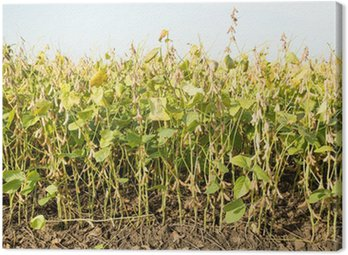 Obraz na Płótnie Pola soi dojrzałe tuż przed zbiorami, krajobraz rolniczy