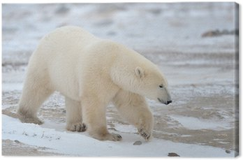 Obraz na Płótnie Polar Bear chodzenia w śniegu.