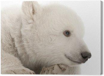 Obraz na Płótnie Polar bear cub, Ursus maritimus, 3 miesiące, leżącego