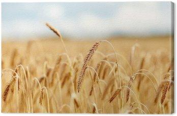 Pole zbóż z spikelets dojrzałych żyta lub pszenicy