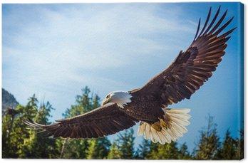Obraz na Płótnie Północ Bielik amerykański w połowie lotu, na polowanie