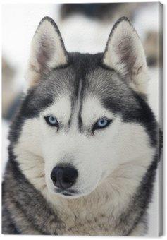 Portret husky