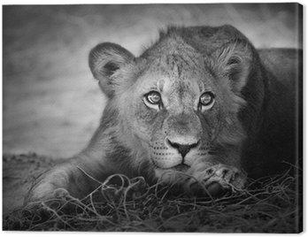 Obraz na Płótnie Portret młodego lwa