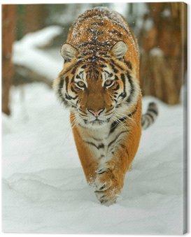 Portret z tygrysa syberyjskiego